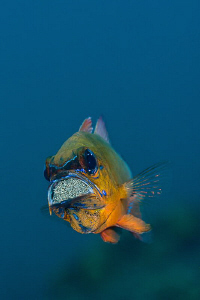cardinal fish with eggs by Paolo Isgro
